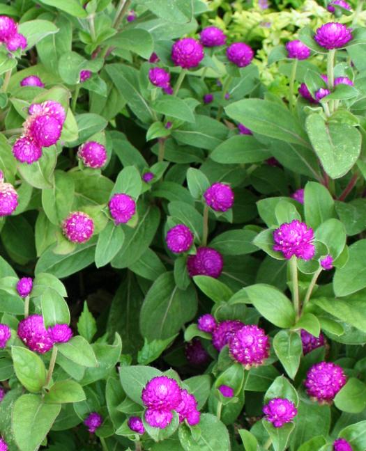 Gumball plants