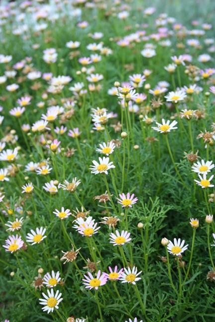 Margarite daisy