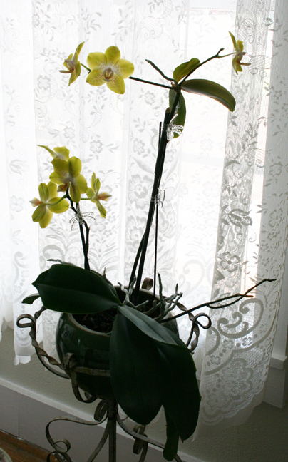 Crazy lady orchid