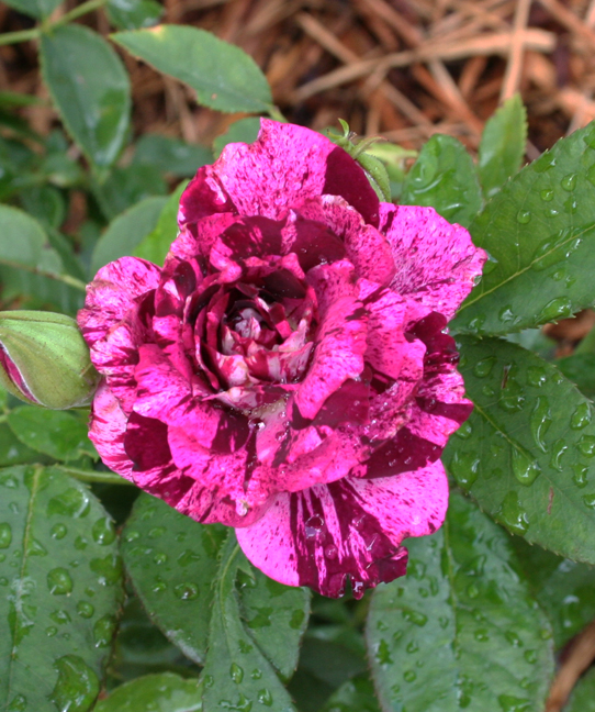 Purple tiger rose
