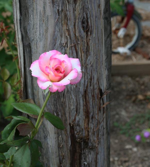 Handel rose