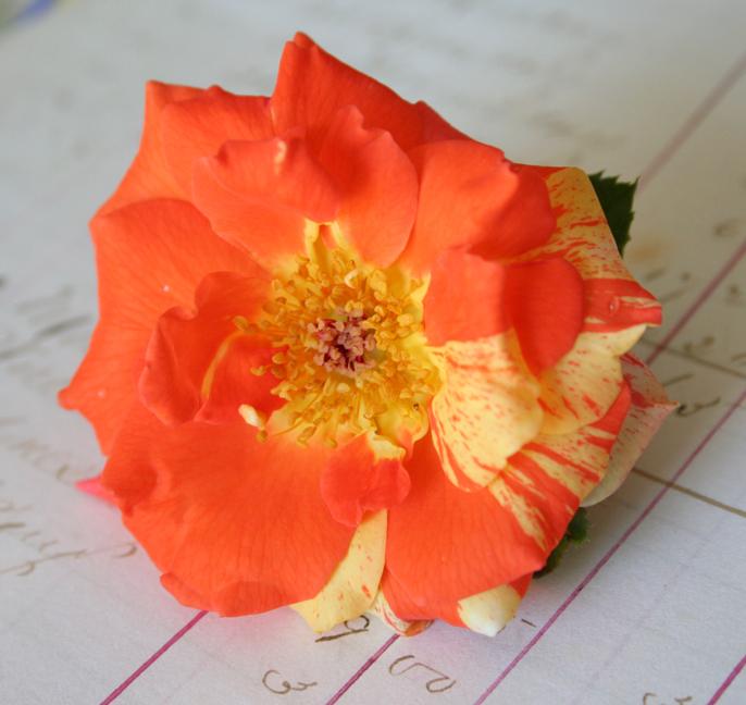 Oranges and lemons rose