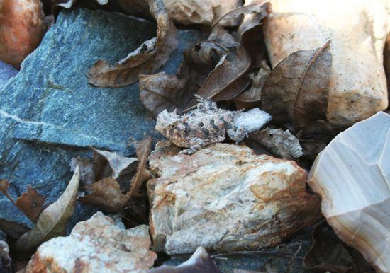 Herding horny toads c
