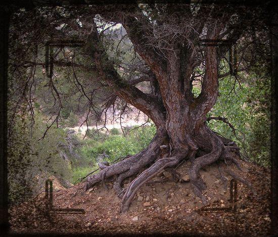 Edgewood tree