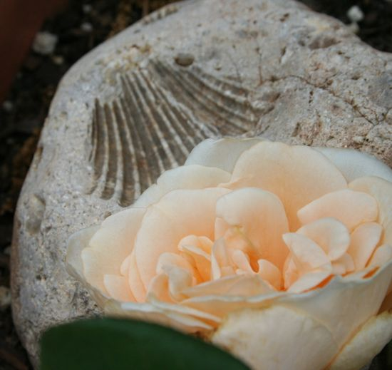 Rose and fossil