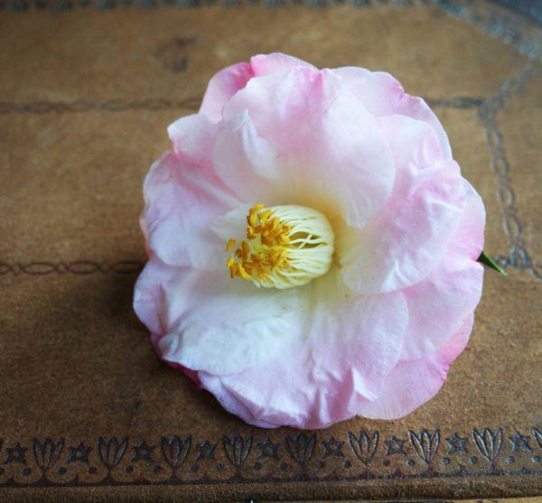 Dr tinsley camellia