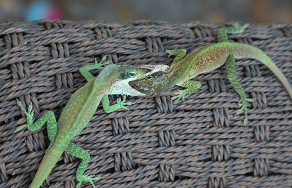 Anole lizard lip lock