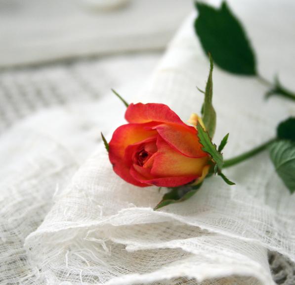 Oranges and lemom mini rose