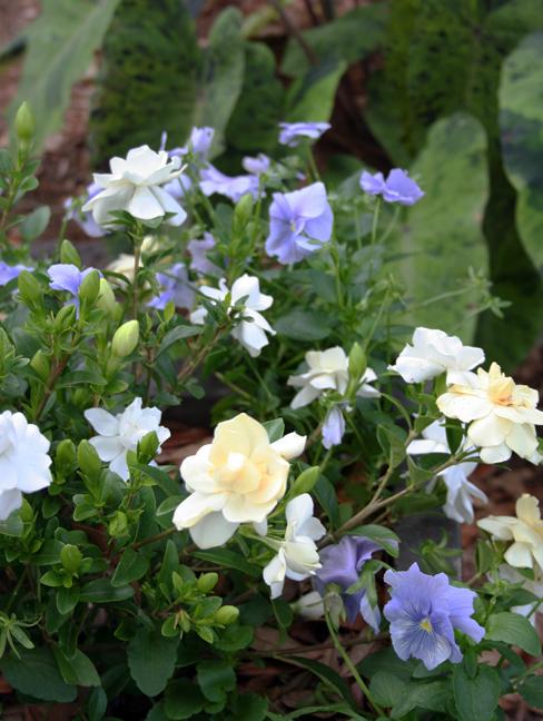 Gardenia and pansies