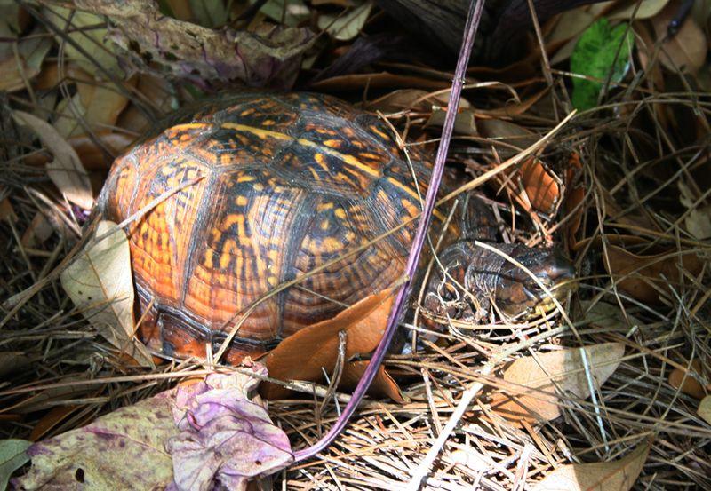 Gulf coast box turtle (7)