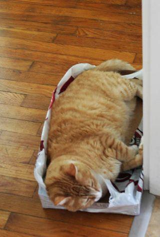 Big orange cat