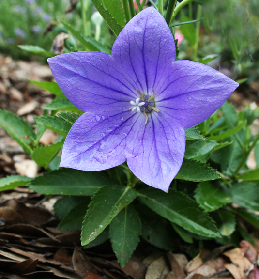Blue balloon flower