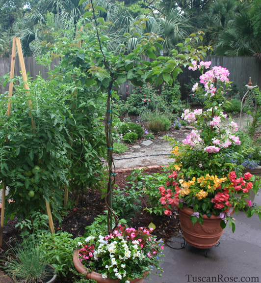 Tomatoes and bougainvillea a