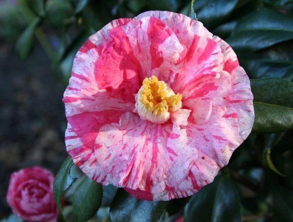 Tricolor camellia a