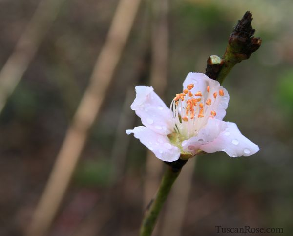 Peach blossom a