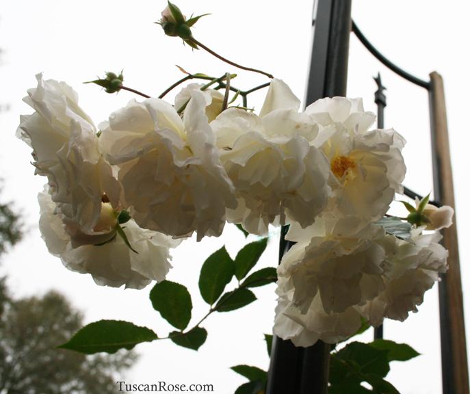 Prom queen rose