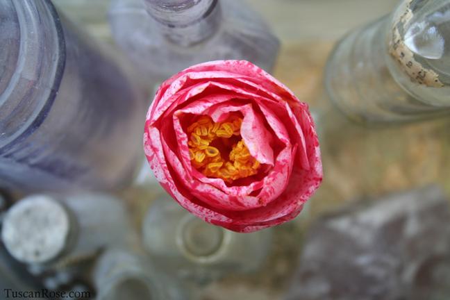 Tricolor camellia