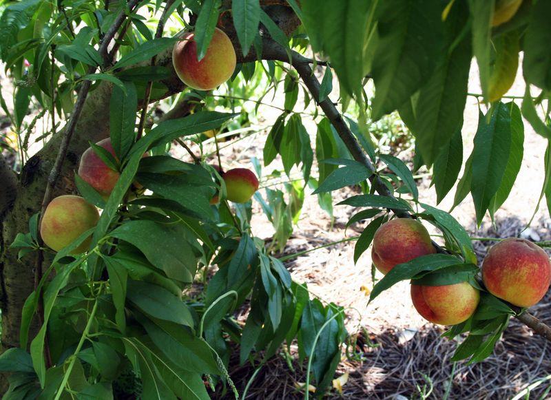 Peach tree white peaches