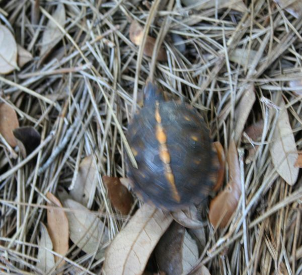 Baby turtle running away