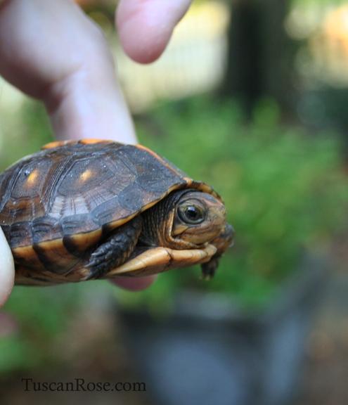 Baby turtle c