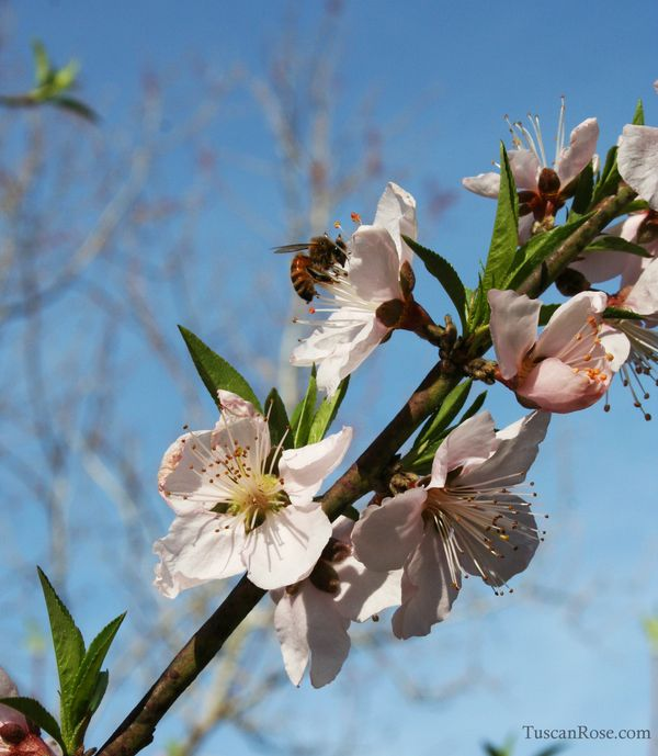 Bees in the peach tree